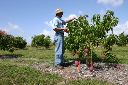 how to grow a mango tree from cutting