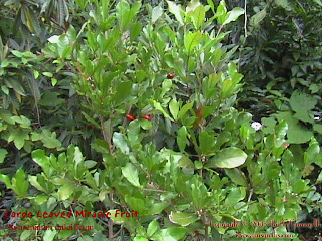 Miracle Fruit Bush 1