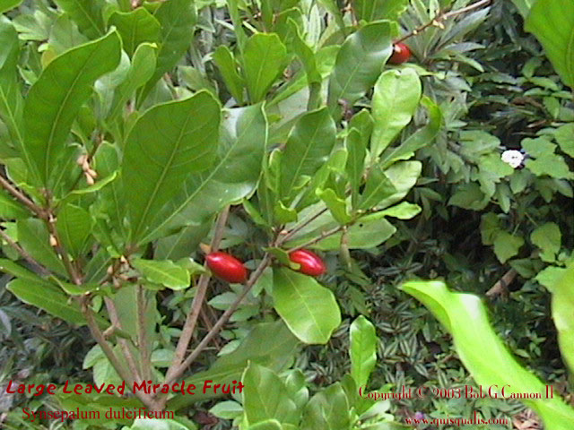 Miracle Fruit Bush 2