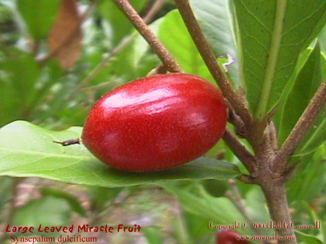 Miracle Fruit - Fruit 1