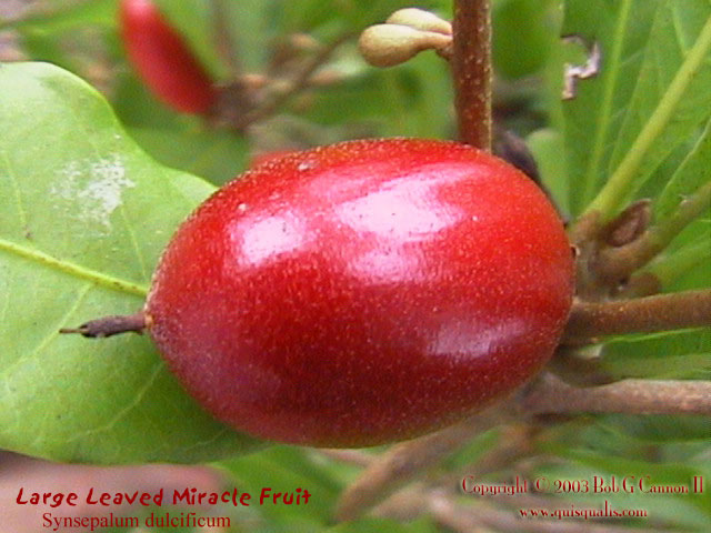 Miracle Fruit - Fruit 2