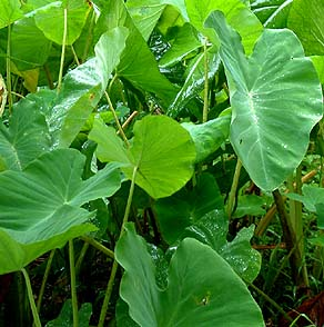 Taro Growing